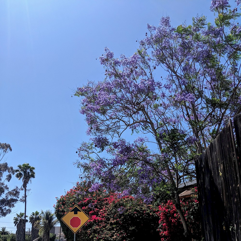 stop sign with an up arrow pointing at a jacaranda tree, against a blue sky